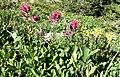 Castilleja parviflora oreopola (8037414911).jpg
