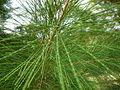 Casuarina equisetifolia 0014.jpg