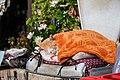 Cat sleeping peacefully under a blanket (50568604482).jpg