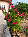Catharanthus roseus flower 03.jpg