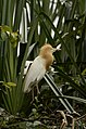 Cattle egret (Bubulcus ibis) from Ranganathittu Bird Sanctuary JEG4323.JPG