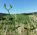 Caucalis platycarpos subsp. platycarpos sl6.jpg