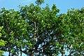 Caucho (Ficus elasticus) (14724325480).jpg