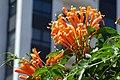 Cayena - Lluvia de oro - Jazmín de fuego - Siete de bastos (Pyrostegia venusta) (14579963684).jpg