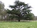 Cedar in Didlington Park - geograph.org.uk - 527295.jpg