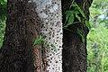Ceiba - panoramio (2).jpg