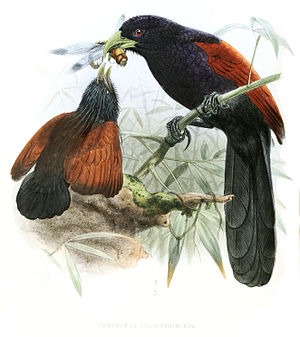 1849 in birding and ornithology - The green-billed coucal was described in 1849