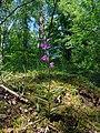 Cephalanthera rubra Luxemburg 03.jpg