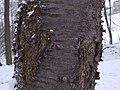 Cerasus avium a1.JPG