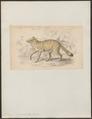 Cerdocyon guaraxa - 1833-1866 - Print - Iconographia Zoologica - Special Collections University of Amsterdam - UBA01 IZ22200325.tif