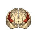 Cerebrum - inferior frontal gyrus - anterior view.png