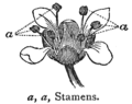 Chambers 1908 Stamens.png