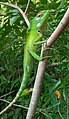 Chameleon waits on the tree.jpg