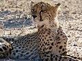 Cheetah (Acinonyx jubatus) juvenile ... (51005652296).jpg