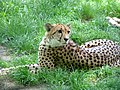 Cheetah in Zoo.jpg
