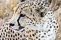 Cheetah in close-up (Unsplash).jpg