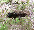 Cheilosia scutellata (Dark-horned Truffle-cheilosia) - female - Flickr - S. Rae.jpg