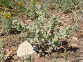 Chenopodium album (4004129427).jpg