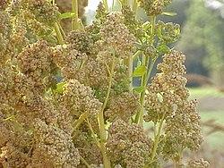vad innehåller quinoa