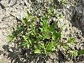 Chenopodium rubrum (s. str.) sl31.jpg
