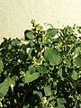 Chenopodium vulvaria sl22.jpg