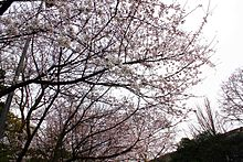 Cherry Blossom in Wuhan University 1.jpg