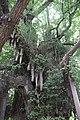 Chiba-dera Temple Ginkgo Tree, Planted 709 AD (29413785603).jpg
