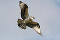 Chick-flying-1.jpg