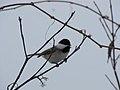 Chickadee (6846826571).jpg
