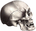 Chippeway American Indian Mongoloid skull.png