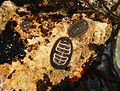 Chitons - Flickr - S. Rae.jpg