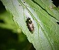 Chloromyia formosa female (27925057809).jpg