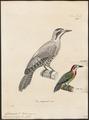 Chloronerpes percussus - 1700-1880 - Print - Iconographia Zoologica - Special Collections University of Amsterdam - UBA01 IZ18700383.tif