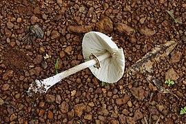 Chlorophyllum spp 6123.jpg