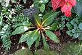 Chlorophytum orchidastrum (Chlorophytum orchidantheroides) - Bloedel Floral Conservatory, Queen Elizabeth Park - Vancouver, Canada - DSC07509.JPG