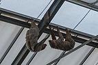 Choloepus didactylus (Paresseux à deux doigts) - 373.jpg