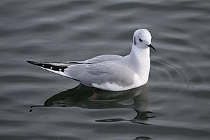 Chroicocephalus philadelphia (Bonaparte's Gull...