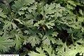 Chrysanthemum x rubellum Clara Curtis 1zz.jpg