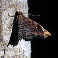 Chrysograpta igneola (Erebidae- Hypeninae) (22929655735).jpg