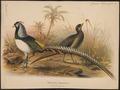 Chrysolophus amherstiae - 1880 - Print - Iconographia Zoologica - Special Collections University of Amsterdam - UBA01 IZ16900258.tif