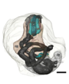 Chrysomallon squamiferum 3d digestive system.png