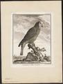 Chrysotis leucocephalus - 1700-1880 - Print - Iconographia Zoologica - Special Collections University of Amsterdam - UBA01 IZ18600123.tif