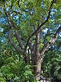 Cinnamomum camphora001.jpg
