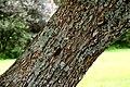 Cinnamomum camphora in Auckland Botanic Gardens 01.jpg