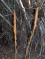 Cinnamon Fern (2882925373).png