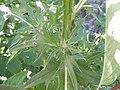 Cirsium vulgare (4995177102).jpg
