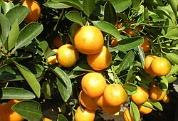 Citrus japonica.jpg