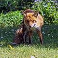 City of London Cemetery, Newham, London England - fox 12.jpg
