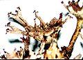 Cladonia multiformis-2.jpg