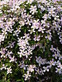 Clematis montana 'Elisabeth' J1.JPG